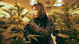 Medical marijuana plants