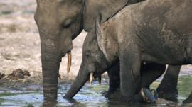 Elephants drinking at the water hole.