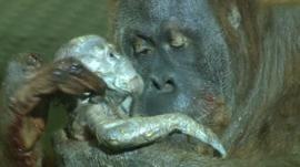 Baby Orangutan with mum Dana