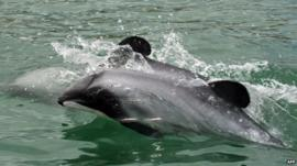 Maui's dolphins swimming off the west coast of New Zealand's North Island