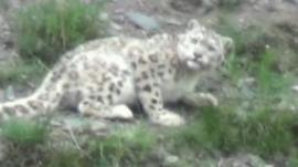 Snow Leopard in Yushu hills, China