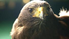 Rufus the Hawk from Northamptonshire