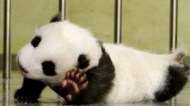 Yuan Zai, Taipei City Zoo's newborn panda cub