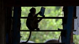 A long-tailed macaque holds a box of milk it has stolen from a house in Thailand's Chachoengsao province