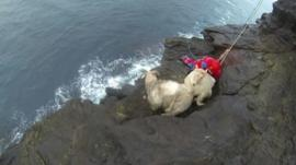 Sheep being rescued from cliff