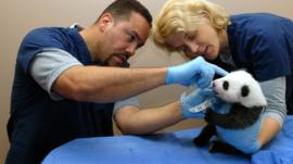 Baby panda at first check up