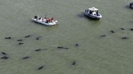 Officials in boats monitor the scene where dozens of pilot whales are stranded in shallow water in a remote area of Florida