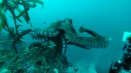 Watch the Octopus take on the cameraman