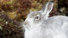 Mountain hare (c) Will Nicholls
