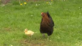 Lucky the duckling and Victoria Peckham the hen