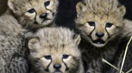 The cheetah cubs