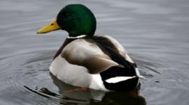 A drake mallard duck on Duddingston Loch, Edinburgh, Scotland