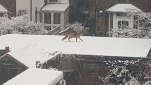 Fox on top of a snowy roof