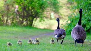 A giggle with a gaggle of gorgeous goslings on a family stroll at Parc Penallta in Hengoed was captured by Chris Thompson.
