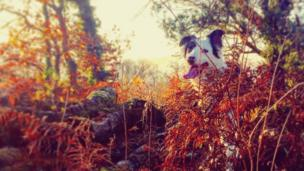Collie Rosie peeps through foliage at Lasgarn Wood, Abersychan, near Pontypool, Torfaen - captured by Emma Clark