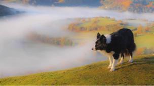Seren the border collie at Castell Dinas Bran, Llangollen, Denbighshire