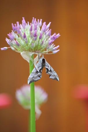 in_pictures Moth on a flower