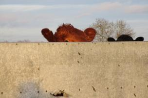 Cows behind a wall