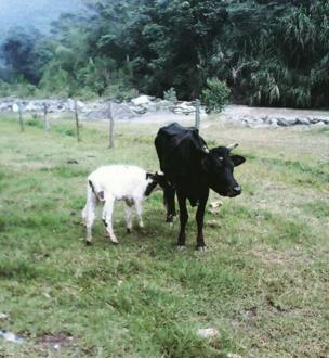 Un ternero se alimenta de una vaca