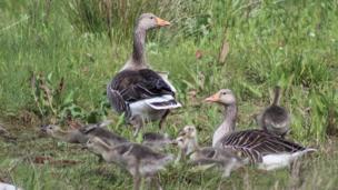 Greylag geese family, Morfa Madryn, near Llanfairfechan, Conwy County