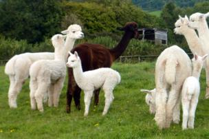 Alpaca's in Worcestershire