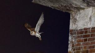 Barn owl leaving roost