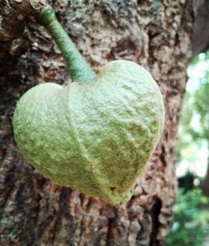 Fruta de guanábana en forma de corazón