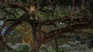 ઝાડ પર બેઠેલા સિંહનો ફોટો