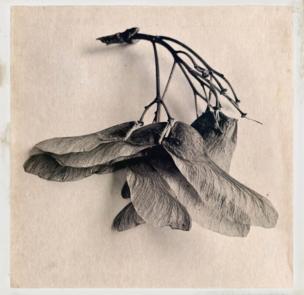 Un ramo de semillas de arce colocado contra un fondo blanco.
