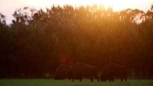 European bison graze on the edge of Bialowieza Forest,