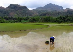 A woman plants rice