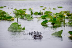 An alligator raises its head above the water