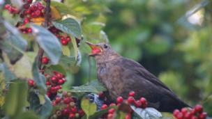 Bird eating berries