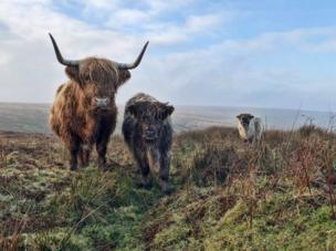 Three Highland Cattle on Exmoor