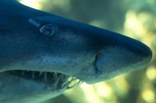 नुकीले दांतों वाली शार्क