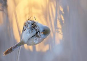 A bearded tit on a stalk of barley