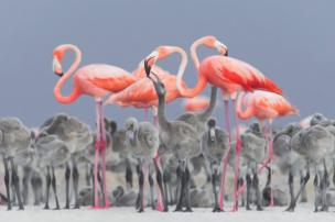 Flamingos feed their chicks