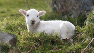 A spring lamb in Llanfairfechan