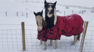 Two horses in the snow in Blaenau Gwent, Wales