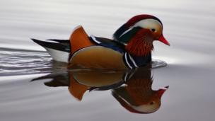 Mandarin duck at Llangorse Lake in the Brecon Beacons
