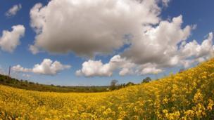 A field of rapeseed in Llangoedmor, Ceredigion