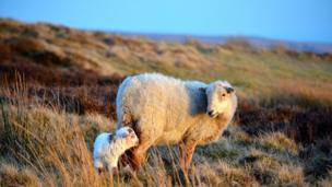 A sheep and a lamb on the Blorenge mountain