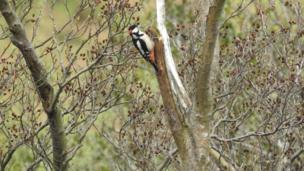 Great spotted woodpecker at Nant Peris, Gwynedd,