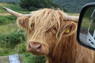 A highland cow looks through a car window.