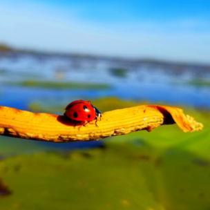 Ladybird in Saskatoon, Canada