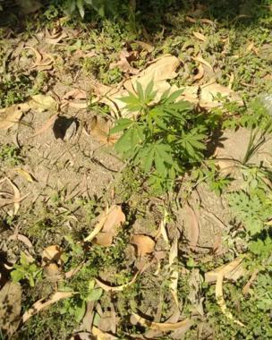 افیون کا پیڑ