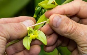 A man touching an orchid with a toothpick.