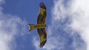 Red Kite, flying over Christmas Common