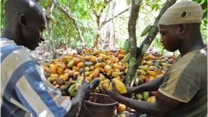 Ivory Coast cocoa bean harvest