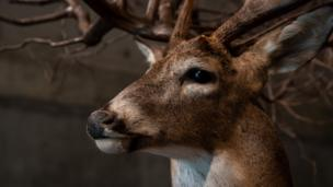 A deer put up for exhibition